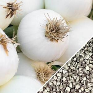 Onion - Southport, White Globe