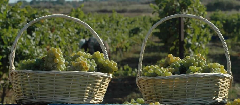 Turkey's best grape harvest