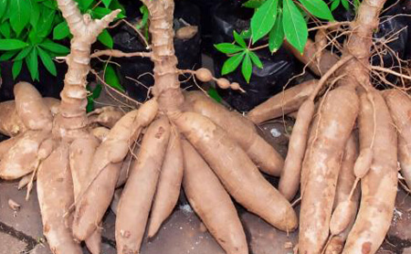 cassava drying process